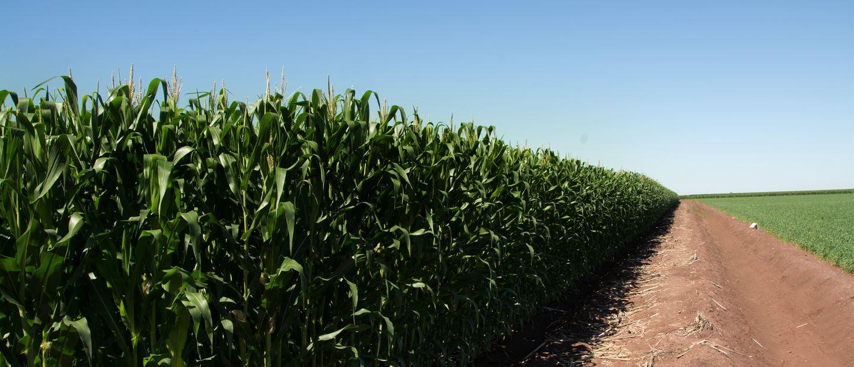 NetMaize app - grow more corn
