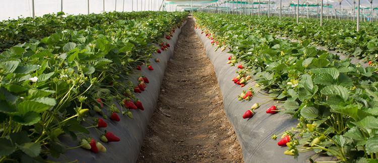 Grow Quality Strawberries