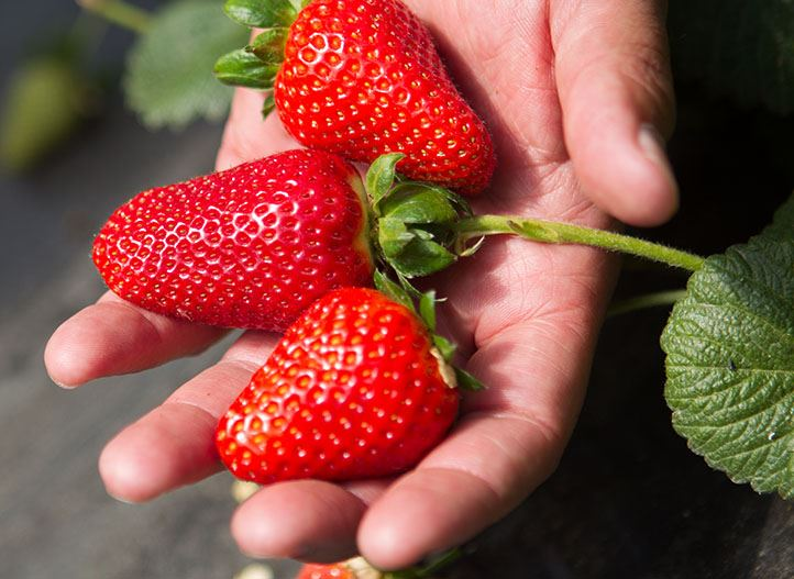 Opportunity-strawberry-netafim