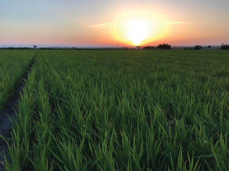 Rice field in Turkey - drip irrigation product