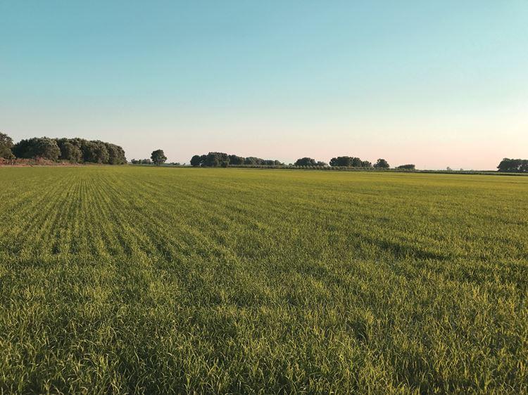 Drip irrigation for rice - Netafim