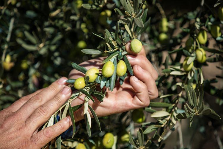 Precision irrigation, irrigation solutions, olives